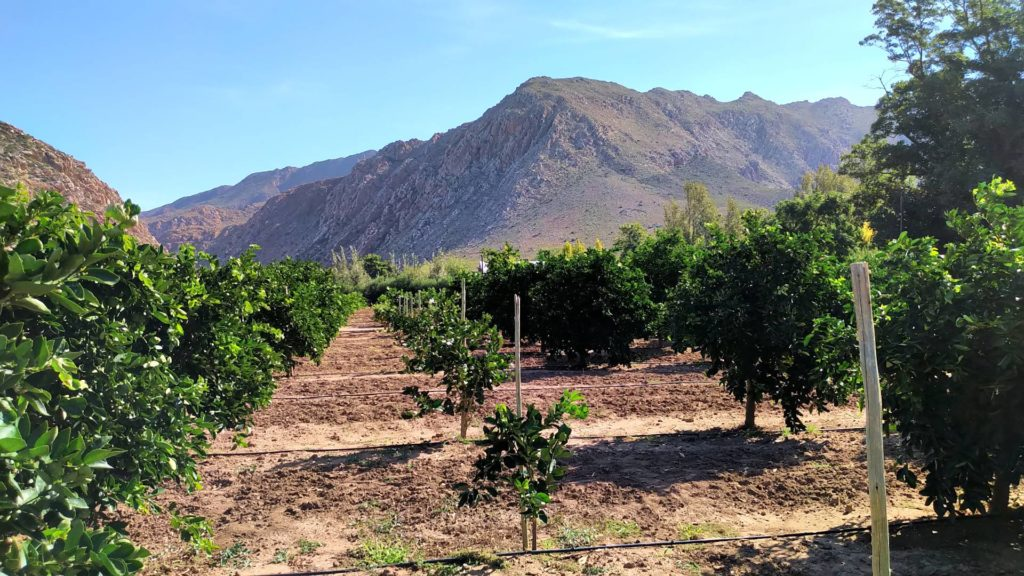 Some citrus variety planted recently-W1920