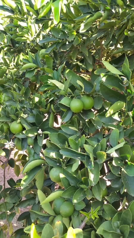 Tree full of limes-H800